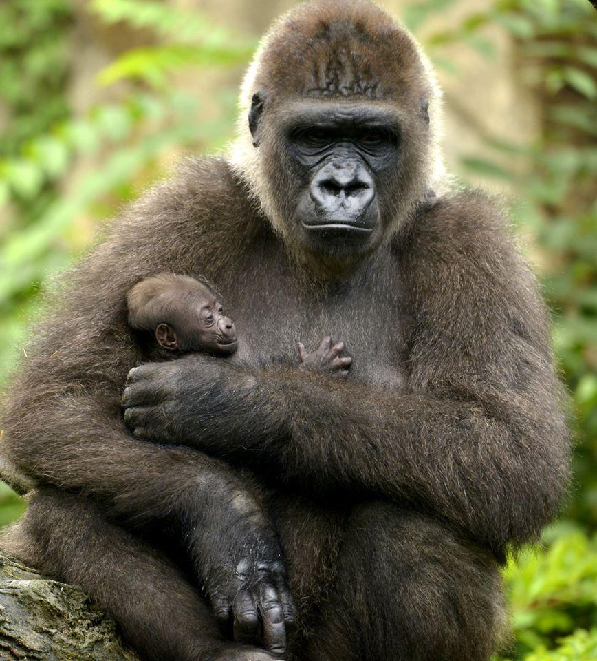 Camerún firma un acuerdo internacional sobre la conservación de los gorilas y de su hábitat.