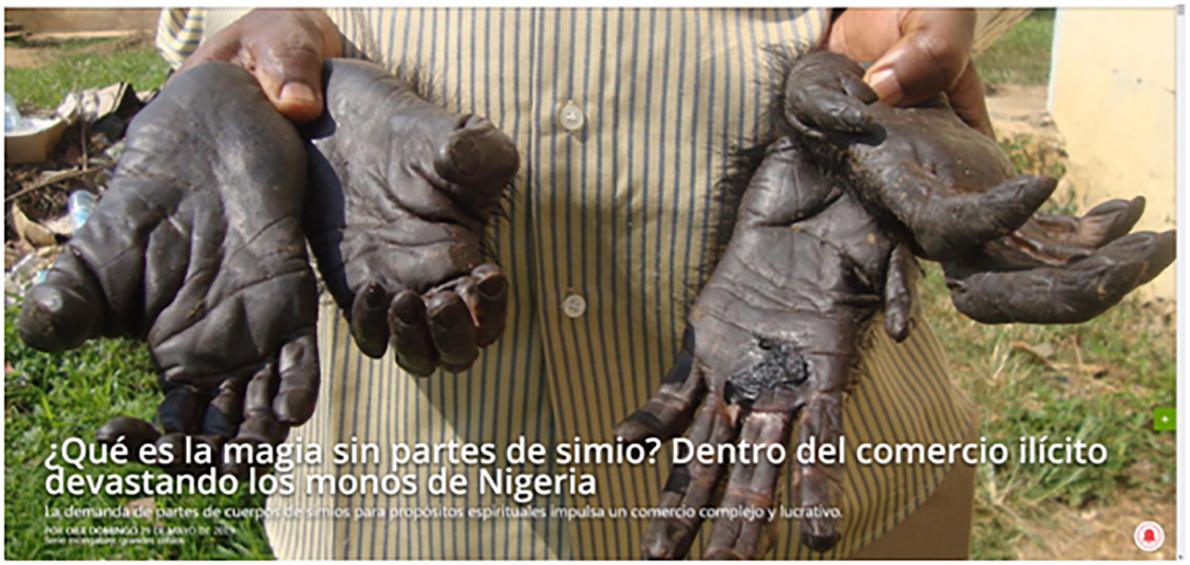 EXTERMINIO DE GRANDES SIMIOS EN LOS PAÍSES DE NIGERIA Y CAMERUN