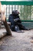 Historia del chimpancé Toti.
