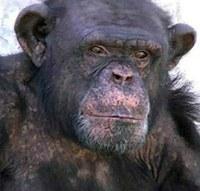 La Asociación de abogados AFADA de Argentina, en colaboración con el Proyecto Gran Simio España, presentan Habeas Corpus para liberar al chimpancé Toti.