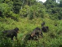 Nueva pregunta Parlamentaria del Senado a raíz de Nota de Prensa del Proyecto Gran Simio sobre el Bosque Ebo de Camerún.
