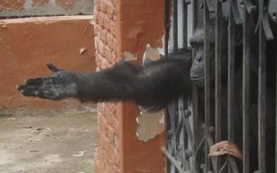 Por la exigencia de una ley que defienda los derechos básicos de los grandes simios.