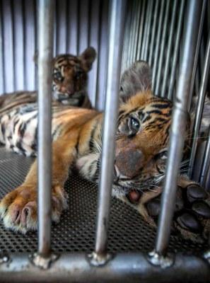 Proyecto Gran Simio envía sendas cartas a los países asiáticos para la protección de especies en peligro de extinción.