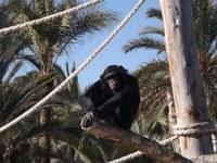Proyecto gran simio lamenta la muerte de dos chimpancés abatidos a tiros en un zoo sito en los Países Bajos, manifestando su protesta ante el embajador de ese País en España.