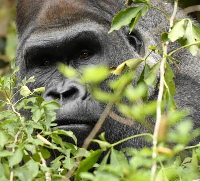 Proyecto Gran Simio se une a la campaña internacional levantada en contra de la autorización del gobierno de Camerún de la concesión forestal del bosque Ebo ignorando acuerdos internacionales.