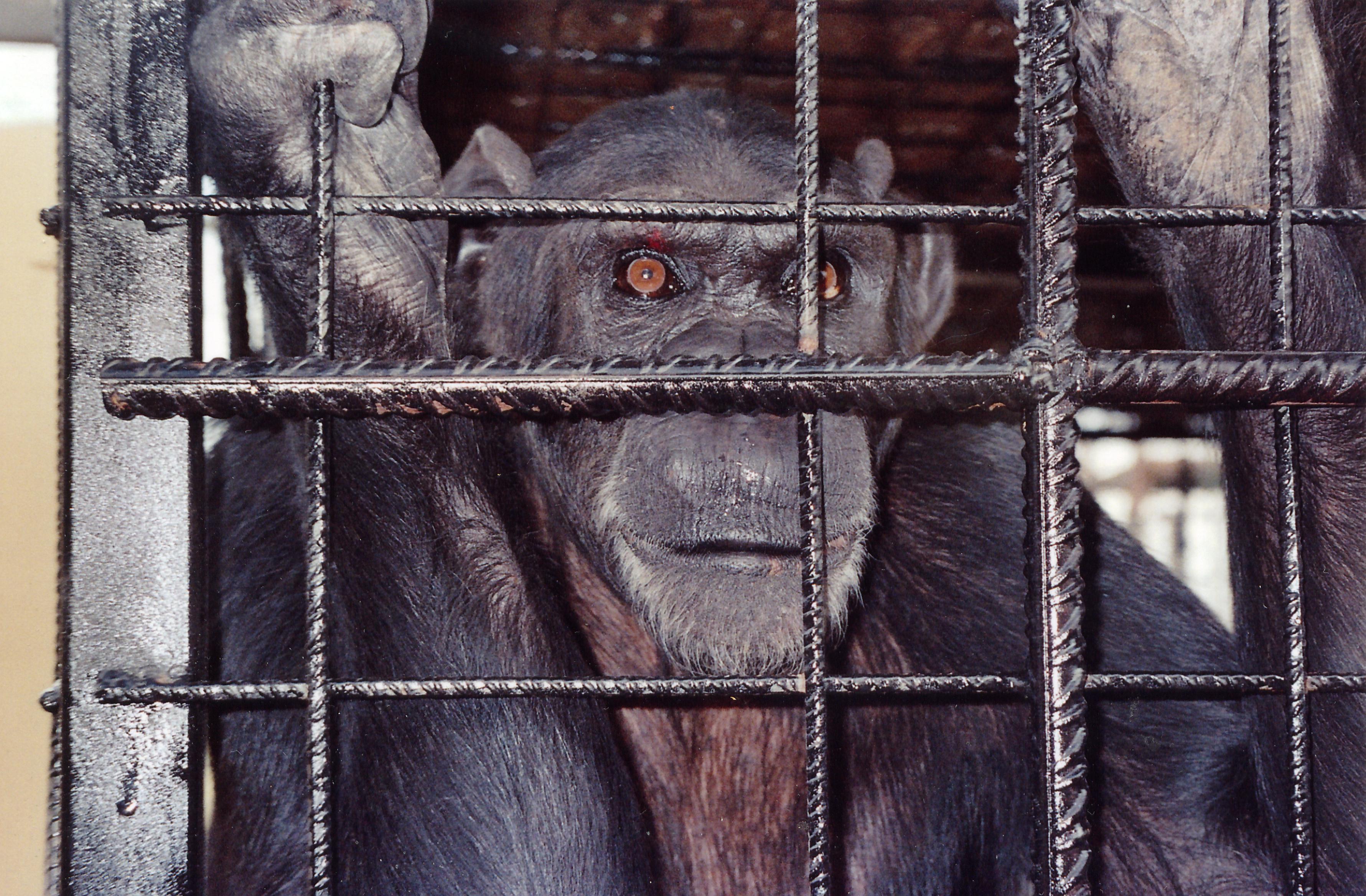 PROYECTO GRAN SIMIO SOLICITA A LAS AUTORIDADES Y A LOS CENTROS PRIVADOS DONDE HAY ANIMALES CAUTIVOS QUE NO SE IGNORE SUS NECESIDADES.