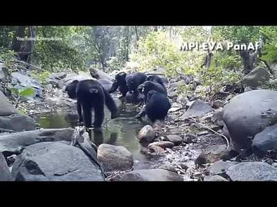 Chimpancés pescando algas en Bakoun, Guinea