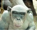 Cinder, la chimpancé calva