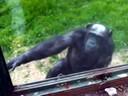 Desgarrador: chimpancé implora que le abran la jaula
