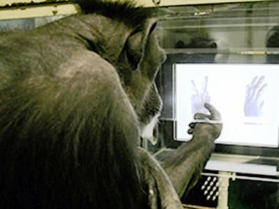 Este chimpancé te ganará a piedra, papel, tijera