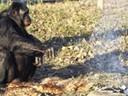 Kanzi, un bonobo que fabrica y utiliza herramientas como los humanos de la edad de piedra
