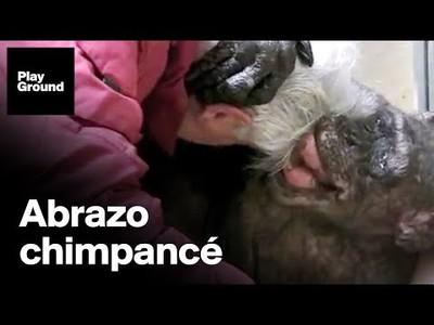 La última despedida de una chimpancé a su amigo